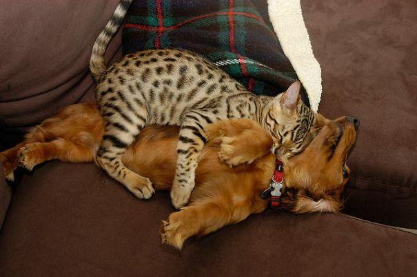 gatos dormidos en perros 12
