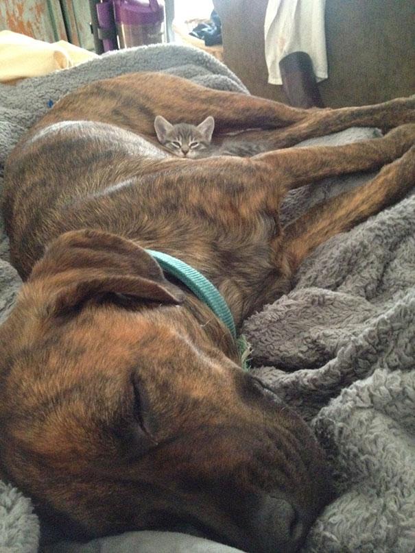 gatos dormidos en perros 14