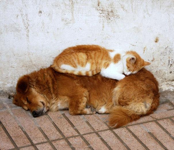 gatos dormidos en perros 15