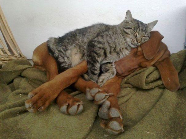 gatos dormidos en perros 4