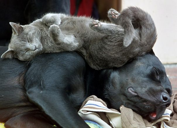 gatos dormidos en perros 7