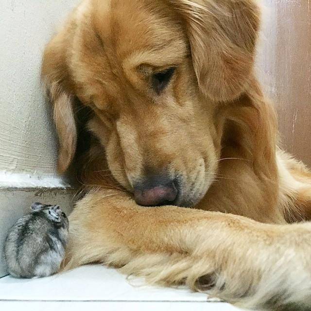 hamster-perro