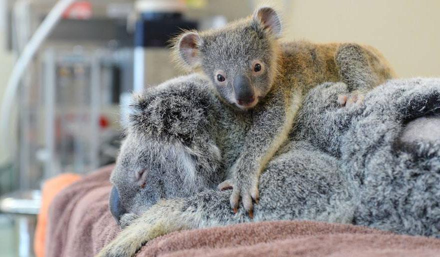 koala abraza madre 1
