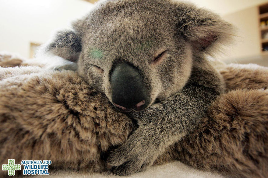 koala abraza madre 3