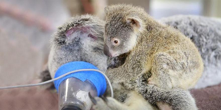 koala abraza madre 4