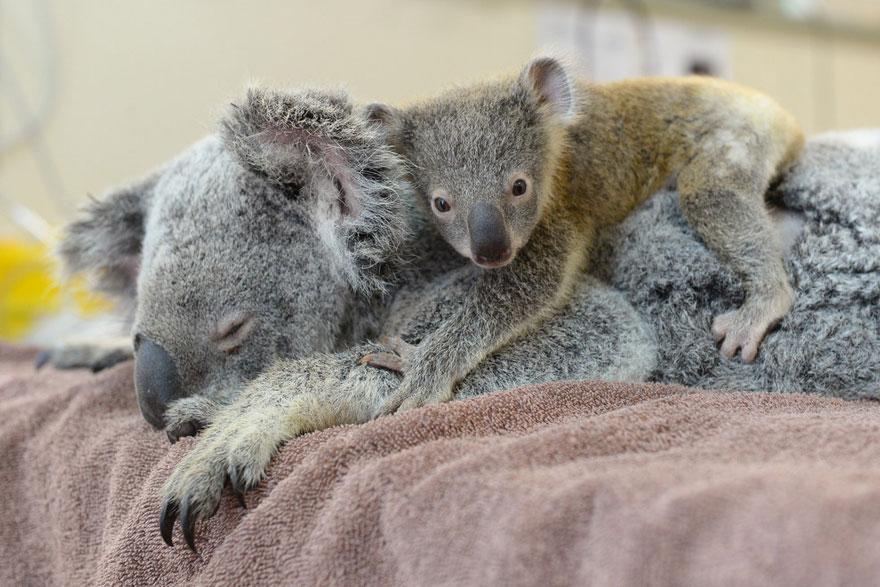 koala abraza madre 5