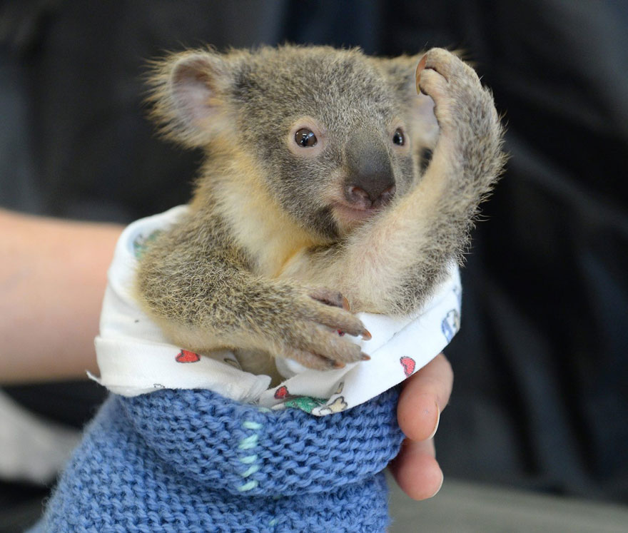 koala abraza madre 6