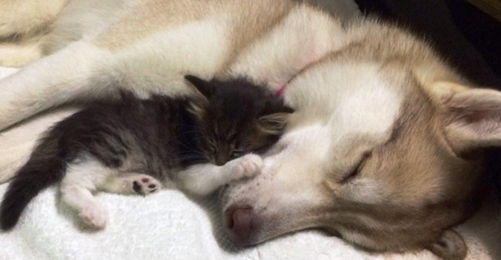 Gatita recién nacida no quería vivir hasta que una husky la tomó bajo sus patitas