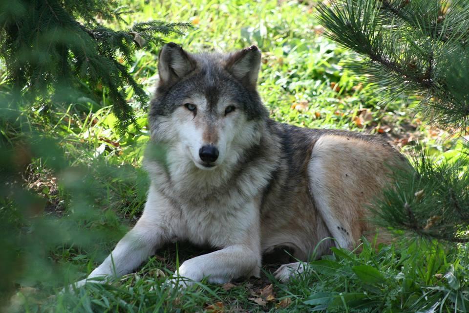 lobo asesinado 1