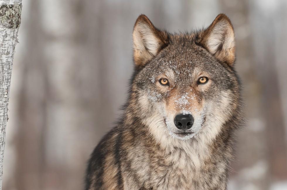lobo asesinado 2