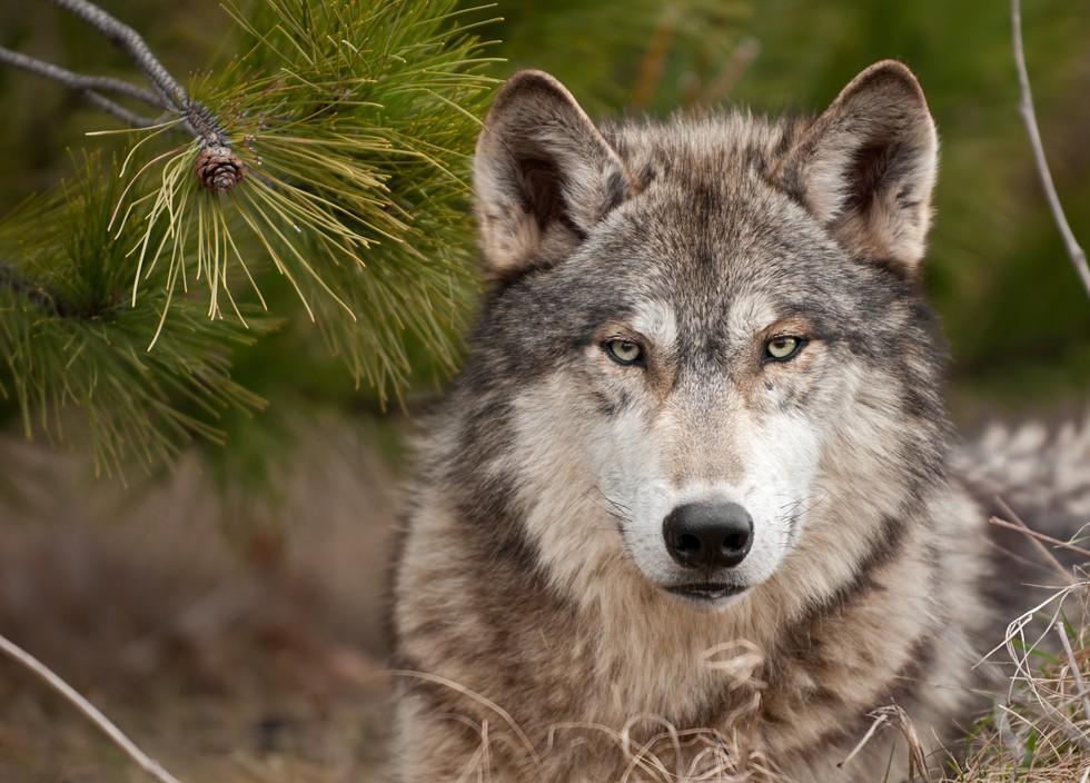 lobo asesinado 3