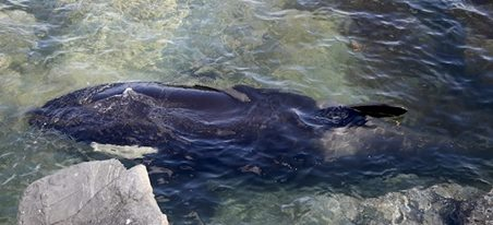orca-rescatada