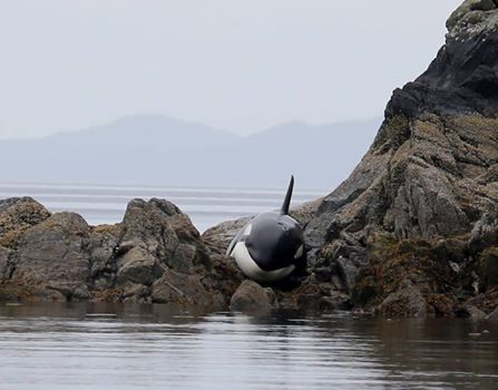 orca-rescate