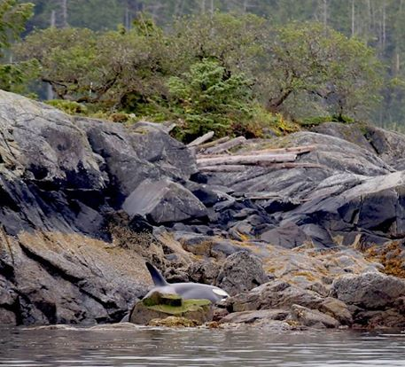 orca-varada