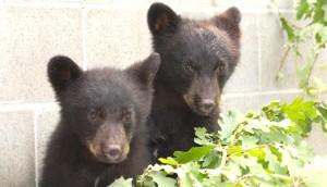 osos-huerfanos-canada