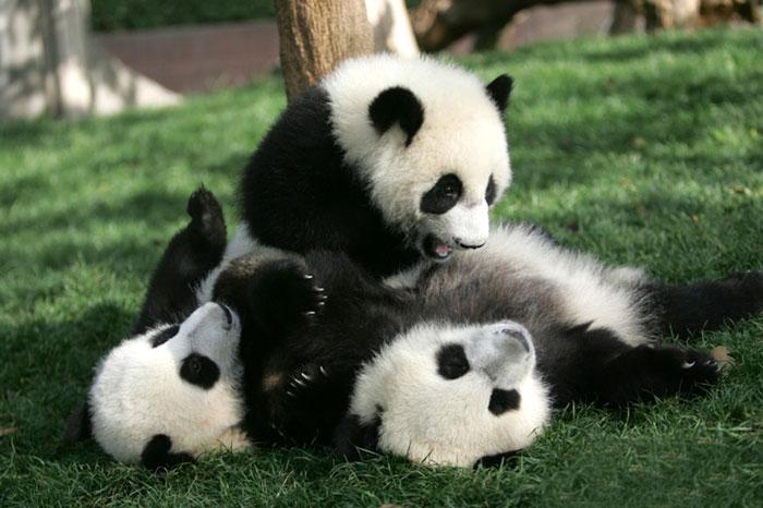 panda-amigo
