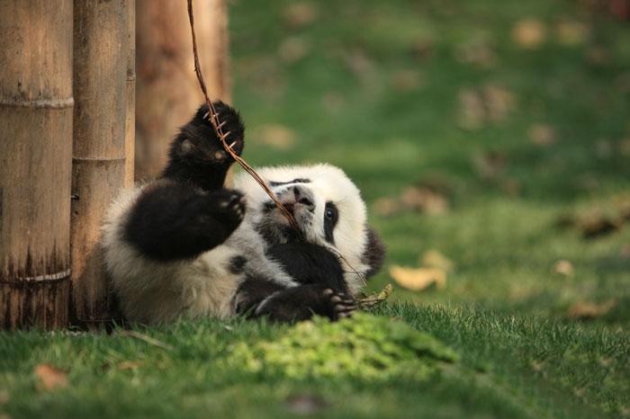 panda-come