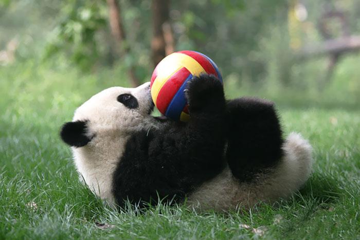 panda-juega-pelota