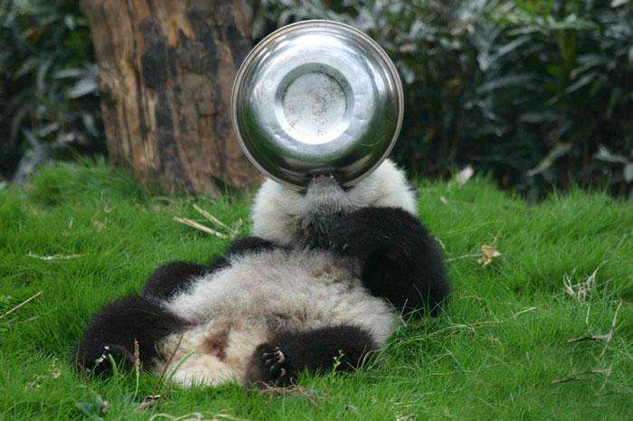 panda-juega-plato