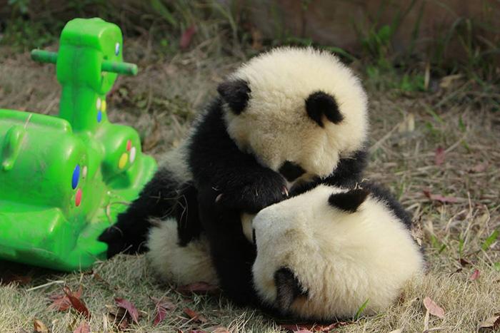 pandas-amigos
