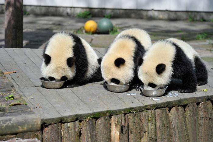 pandas-comen