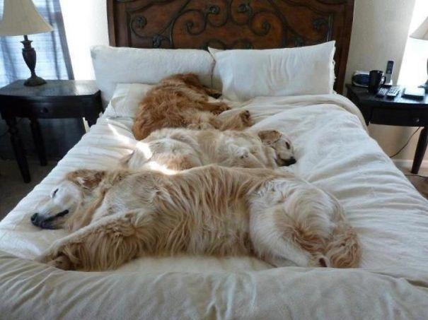 perros en cama 12