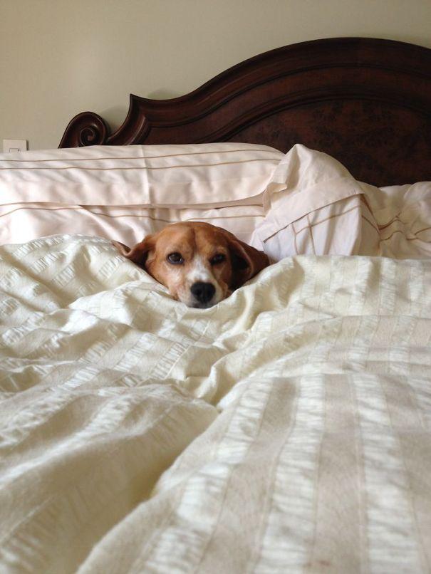 perros en cama 15