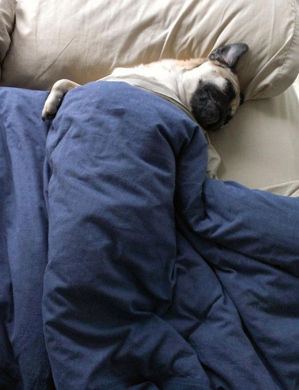 perros en cama 16
