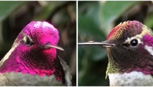 Colibri-plumas-cambian-de-color - 4