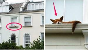 Zorro-ventana-durmiendo