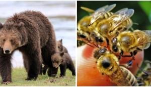 abejas-peligro-osos-reportaje4