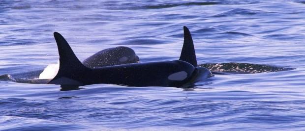 abuela-orca