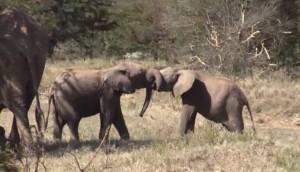 adorables elefantes bebes id