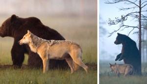 amistad-oso-lobo