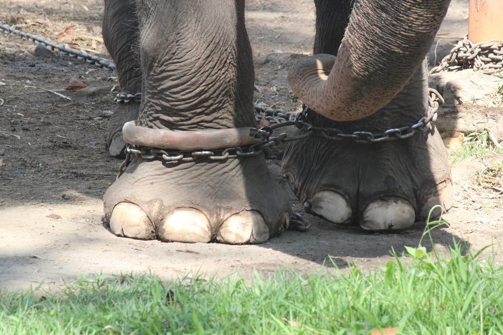elefante-cautivo2