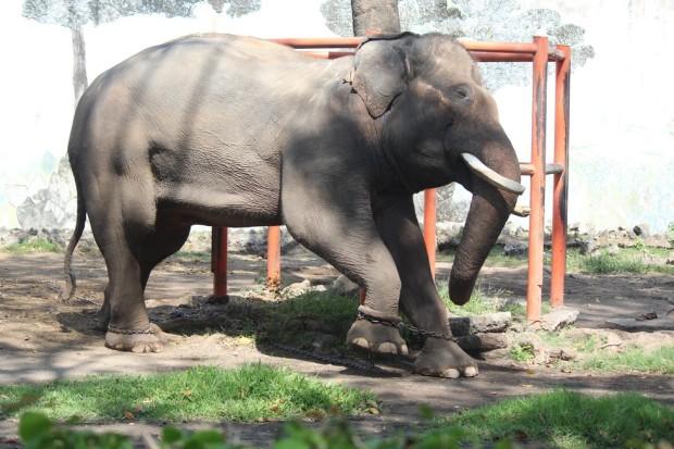 elefante-cautivo3