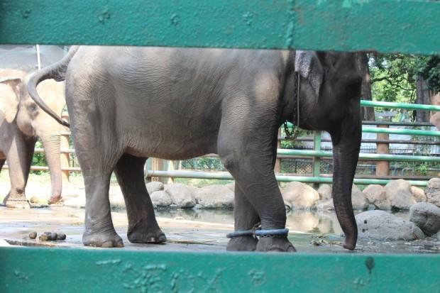 elefante-cautivo6