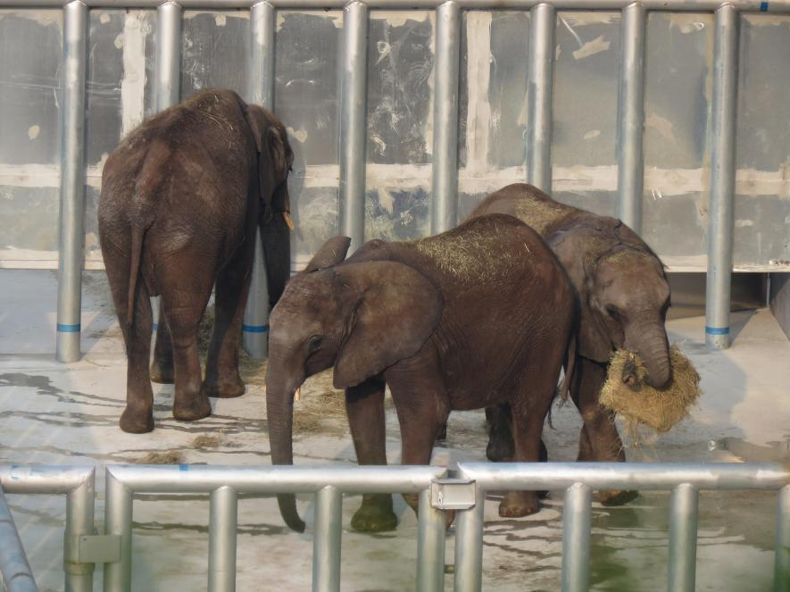 elefantes bebes capturados 1