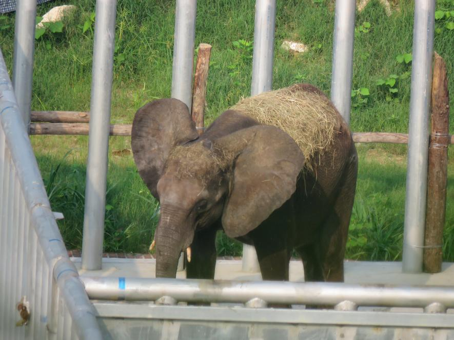 elefantes bebes capturados 4