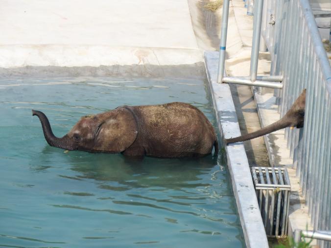elefantes capturados 1