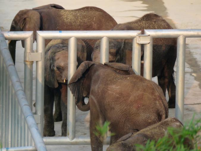 elefantes capturados 3