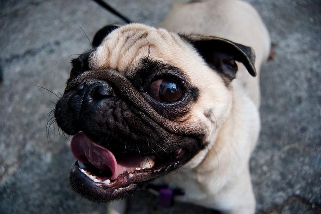la raza de tu perro habla de ti 10