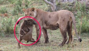 leona adopta babuino id