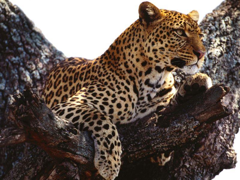 Leopardo en Arbol_800