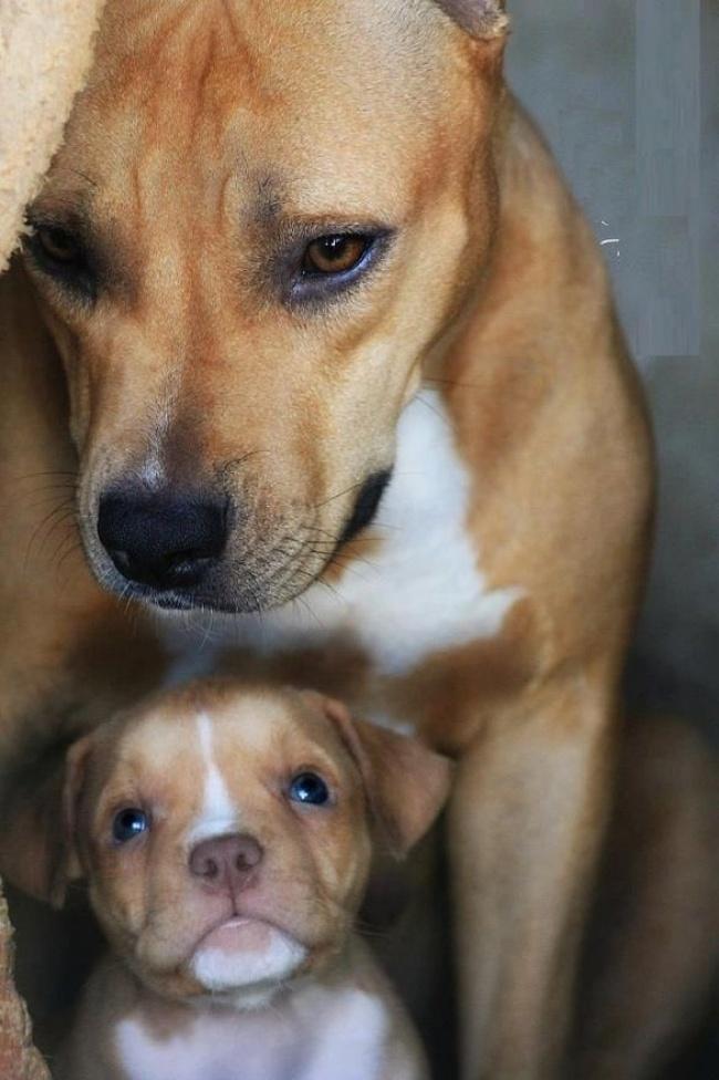 mamas caninas 12