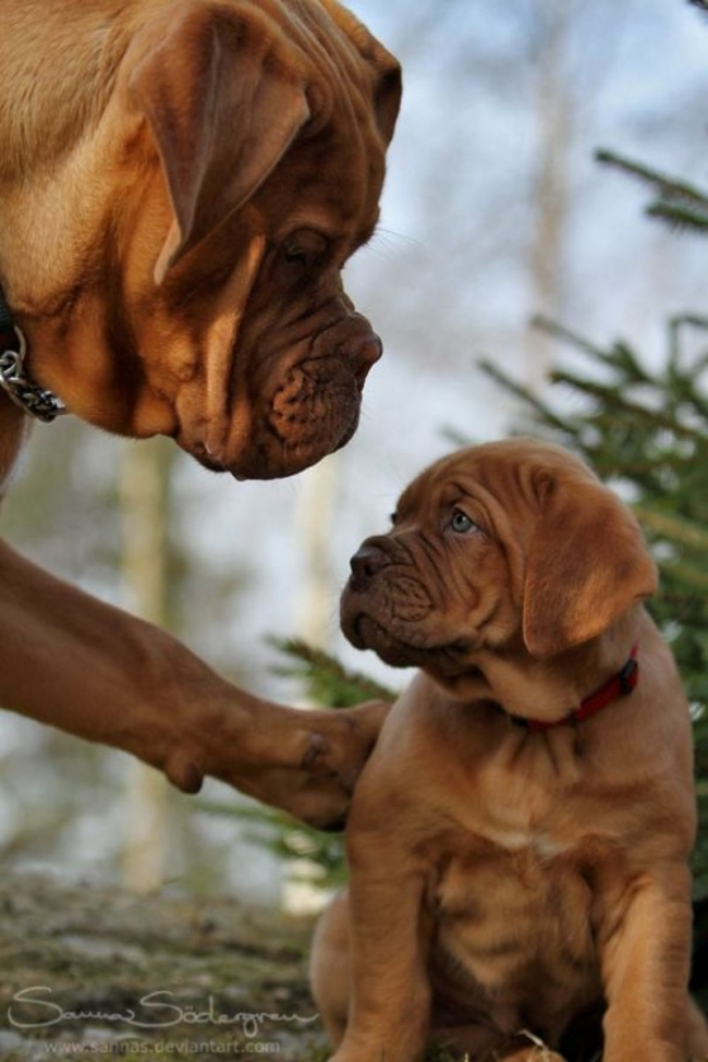 mamas caninas 5