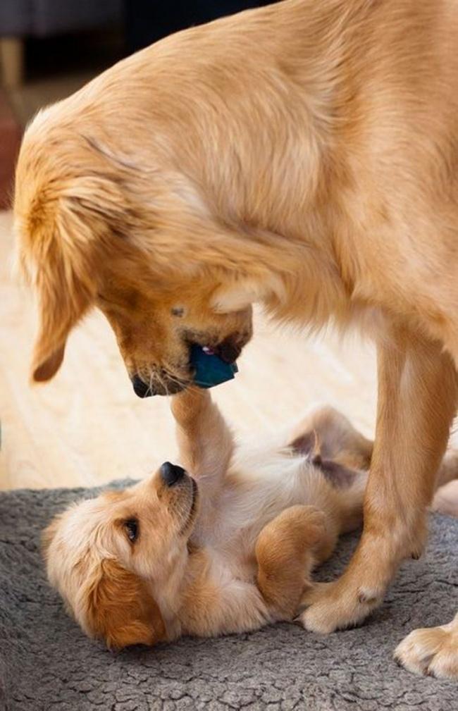 mamas caninas 6