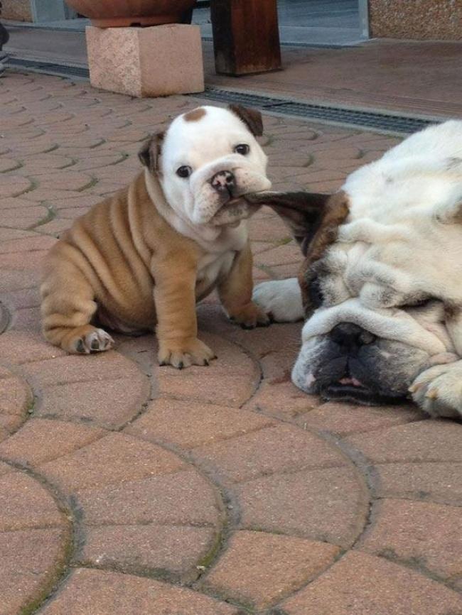 mamas caninas 7