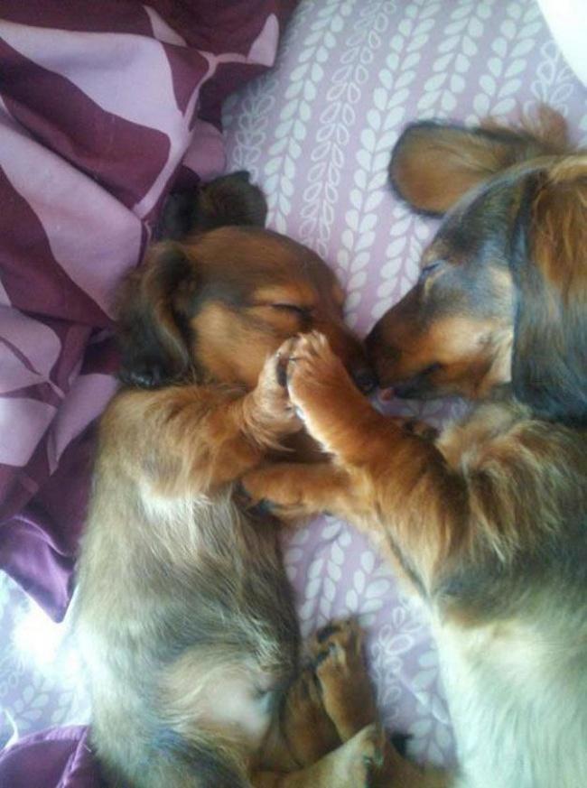 mamas caninas 8