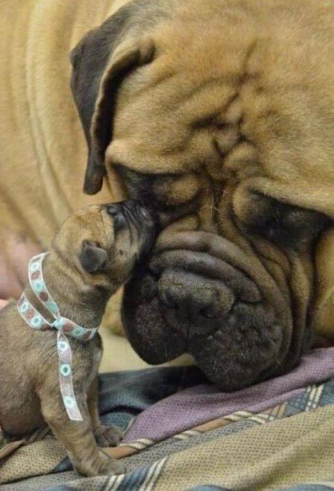 mamas caninas 9